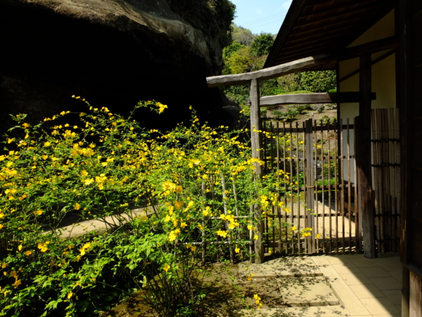 海蔵寺のヤマブキ