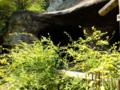 [鎌倉]海蔵寺のヤマブキ