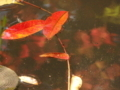 肥後細川庭園 櫨の落葉