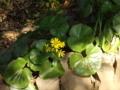肥後細川庭園のつわぶき