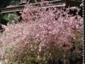 妙本寺の花海棠