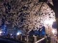 [桜][大岡川]大岡川の夜桜