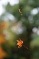 『京都新聞写真コンテスト 紅葉のモビール』
