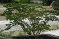 『京都新聞写真コンテスト 柊野堰堤にて 荒ぶる賀茂川と合歓の木