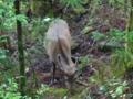 [2013-05-17][屋久島][縄文杉][登山][鹿]