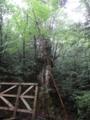 [2013-05-17][屋久島][縄文杉][登山][仁王杉]