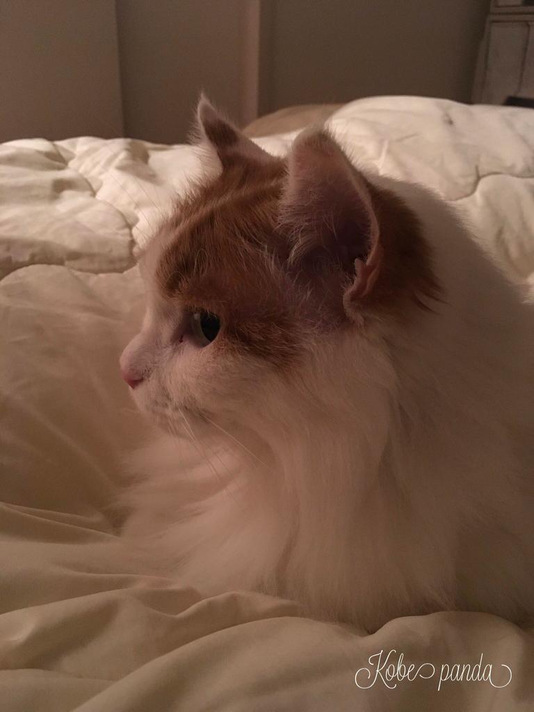 猫 ネコ ターキッシュバン