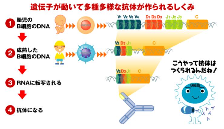 【免疫学】VDJ組換え、VJ組換えはいつどのように …