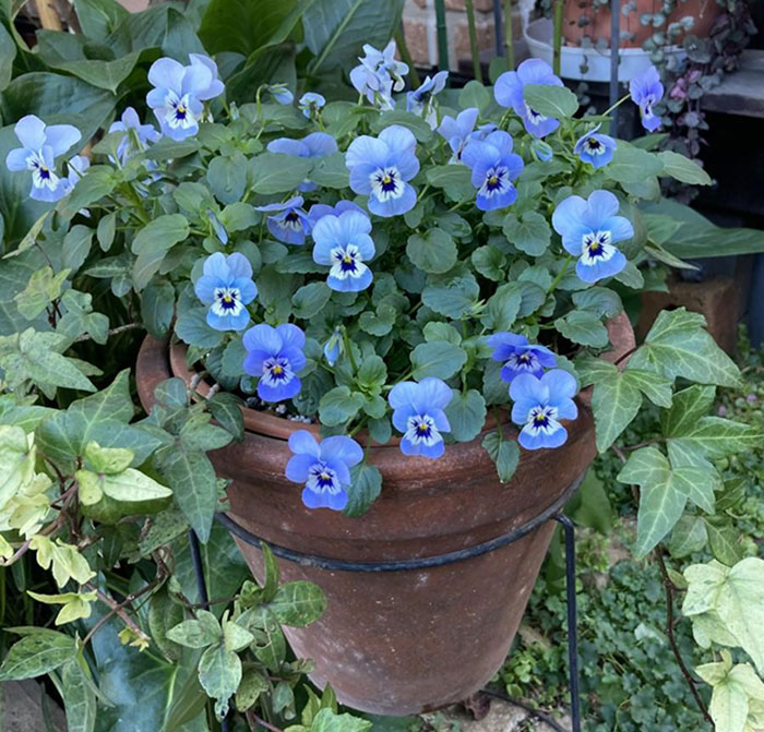 青色のビオラの寄せ植え(ギャザリング)