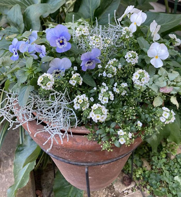 青色のビオラとアリッサムの寄せ植え(ギャザリング)
