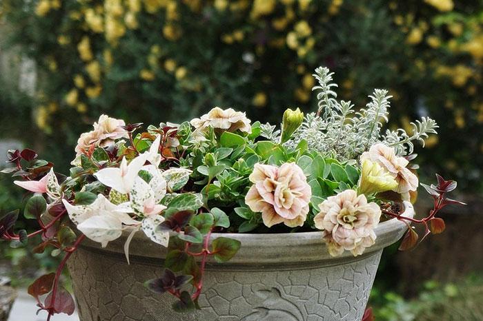ペチュニア・リキマシア・オーストラリアンローズマリー・コニファを取り入れた寄せ植え(ギャザリング)