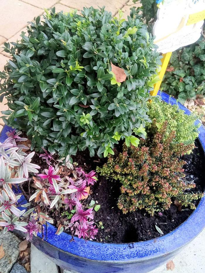 ツゲ・冬用ハイデを取り入れた寄せ植え(ギャザリング)