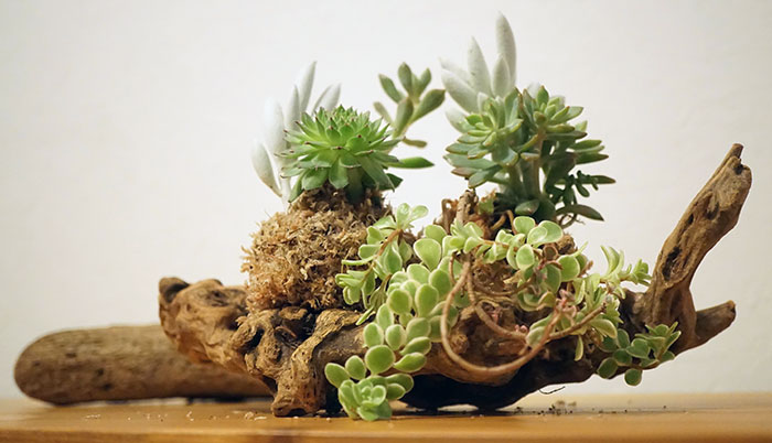 多肉植物である銀月・センベルビウム・セダムミックスを取り入れた寄せ植え(ギャザリング)