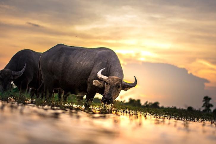 夕日に照らされる水田と水牛