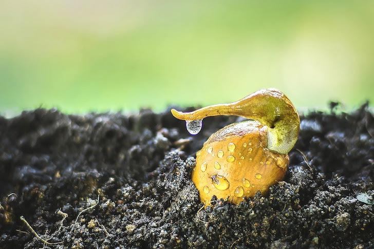芽を出すドリアンの種