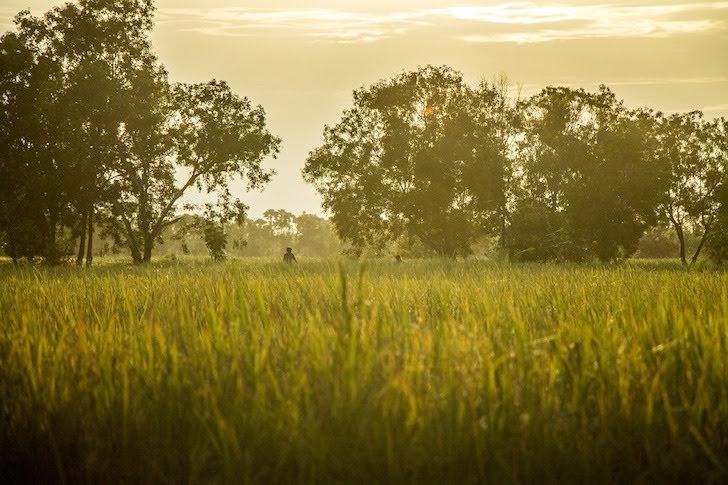 タイの田舎にある稲が育った田んぼ
