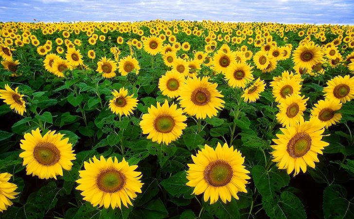 一面に咲くひまわりの黄色の花と緑色の葉