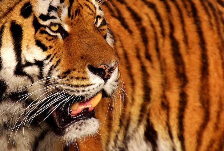 虎の縦じま