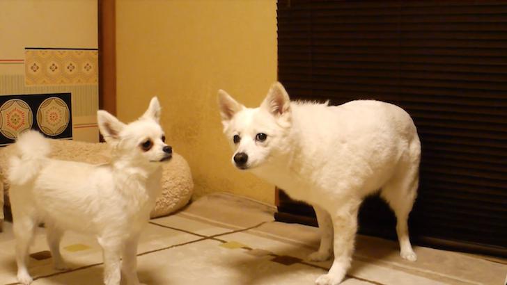 カメラ目線の大柄の犬と怒られた小柄の犬