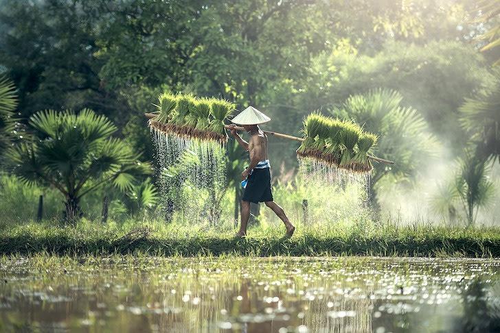 稲を担いであぜ道を歩く男性
