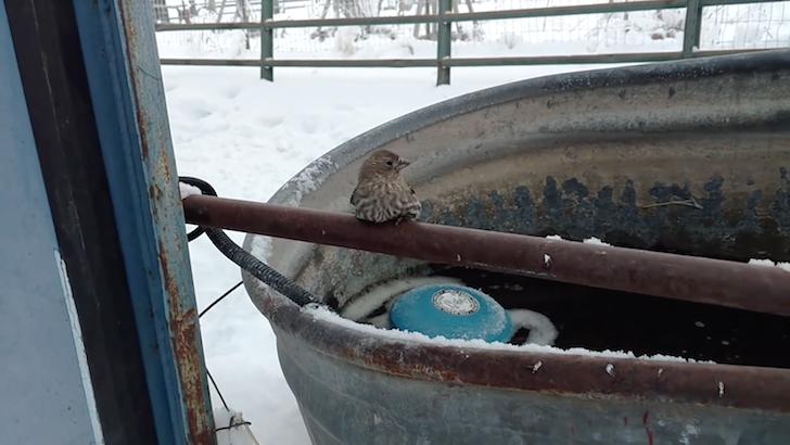 寒さのせいで鉄棒から足が離れなくなってしまった小鳥