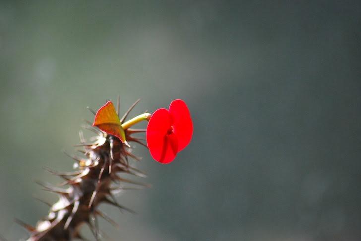サボテンの赤色の花