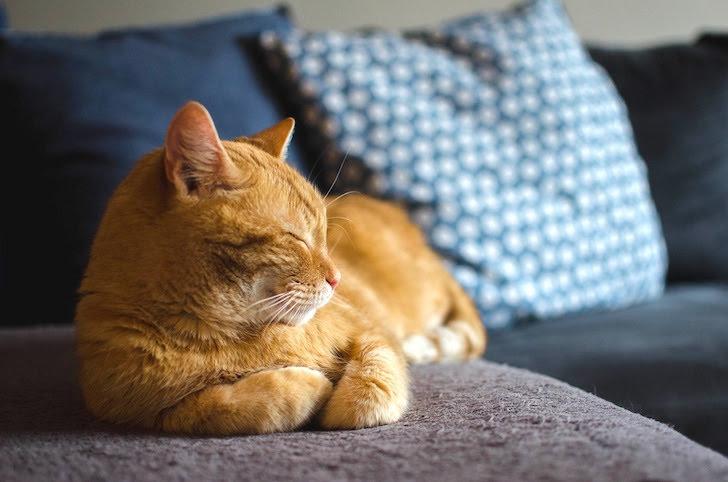 ソファでたたずみながら目を閉じる猫