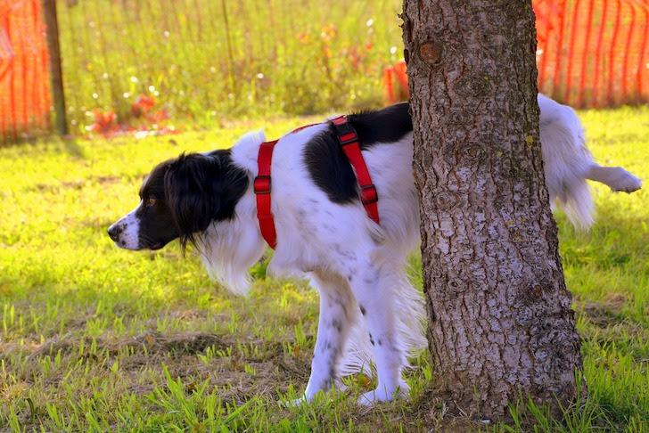 片足を上げて木におしっこを掛ける犬