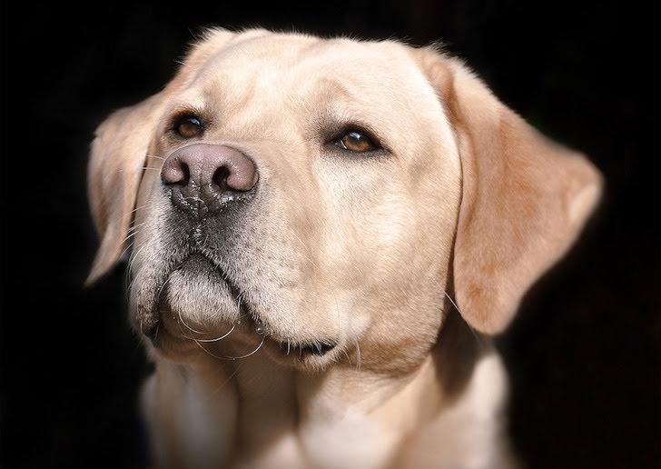 物を言いたげなラブラドール・レトリバー犬