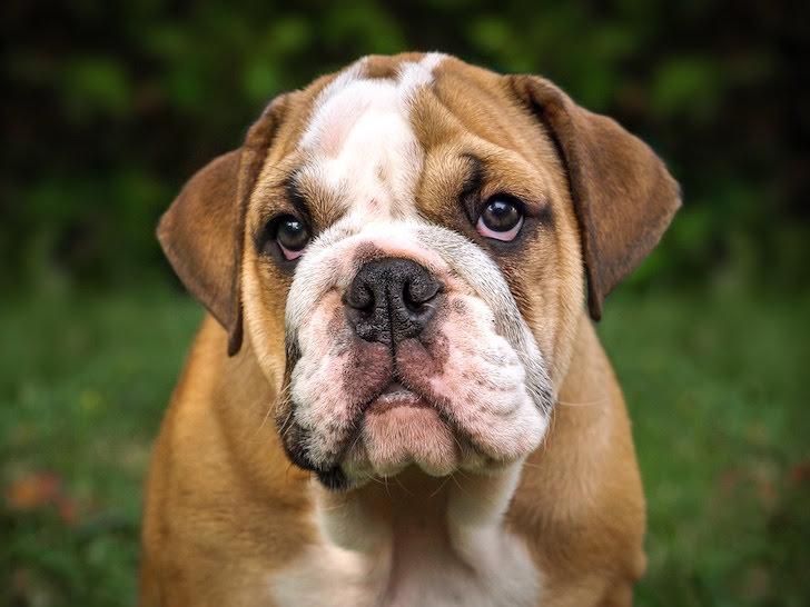 じっと見詰めるイングリッシュ・ブルドッグ犬