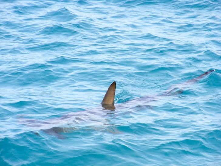 海上にひれを出して泳ぐシュモクザメ