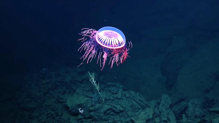 深海を浮遊するクラゲ