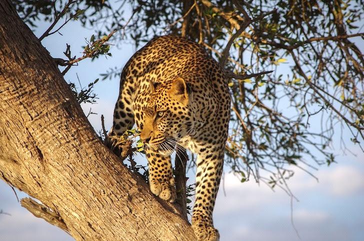 木の上から威嚇するヒョウ