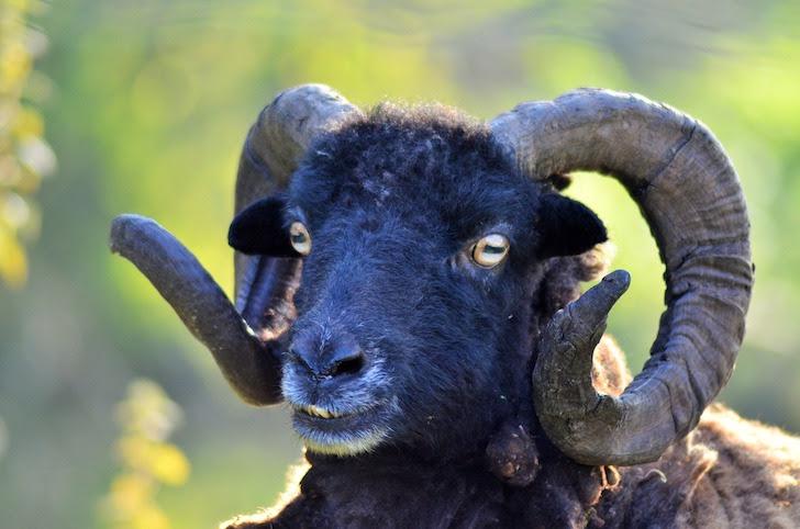 長い角を持つ雄の羊