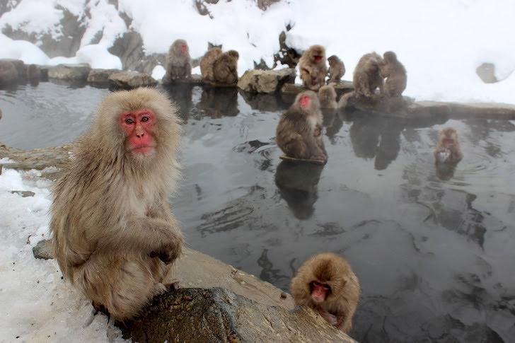 露天風呂に漬かる日本猿