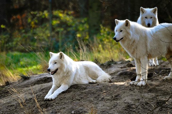 群れなす北極オオカミ