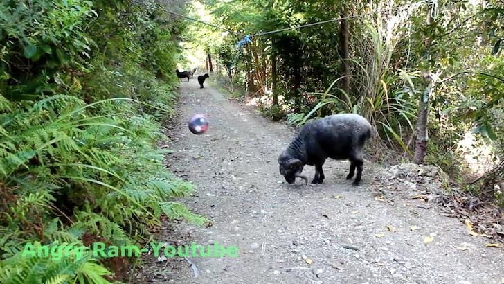 ボールに突進する雄の羊