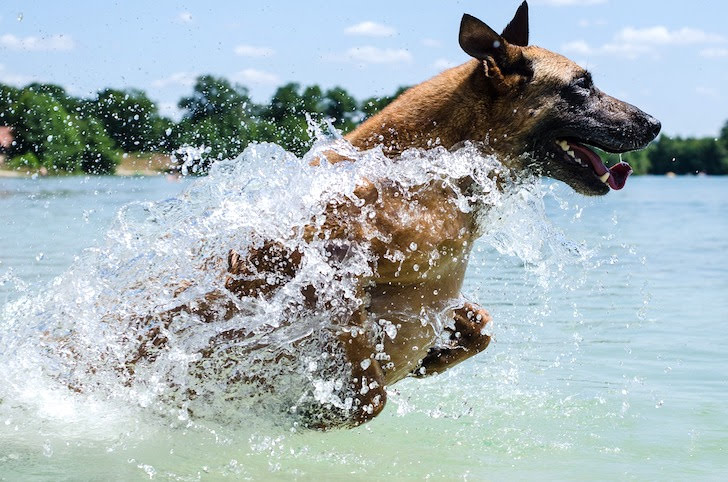水しぶきをあげて水面を駆けるシェパード犬