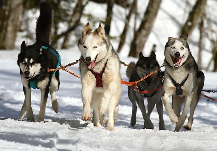 犬ぞりを引くシベリアンハスキー犬たち