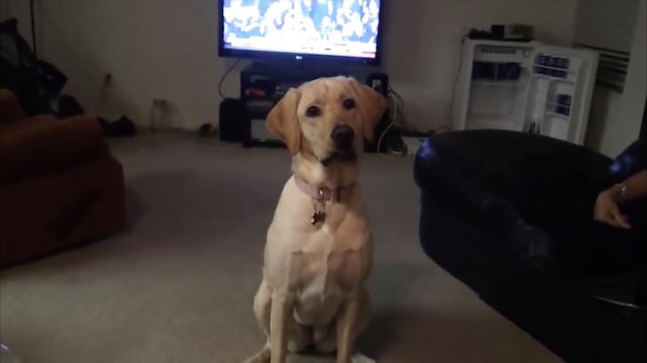 飼い主の依頼を待つラブラドール・レトリバー犬