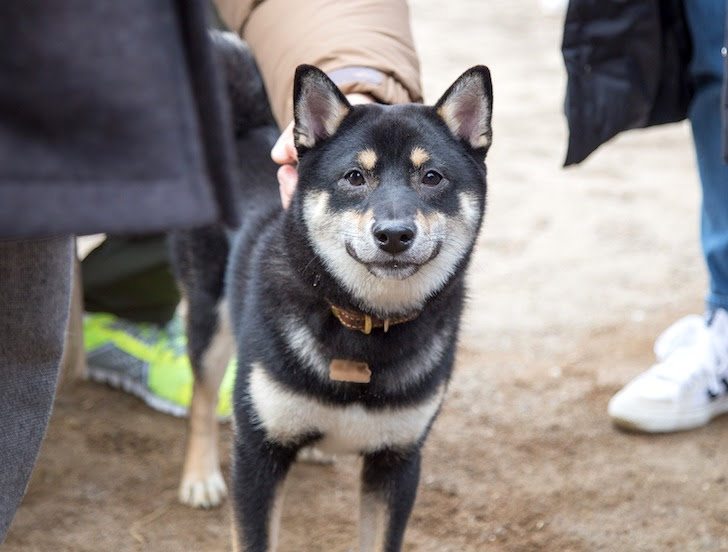 笑顔でこちらを見詰める柴犬