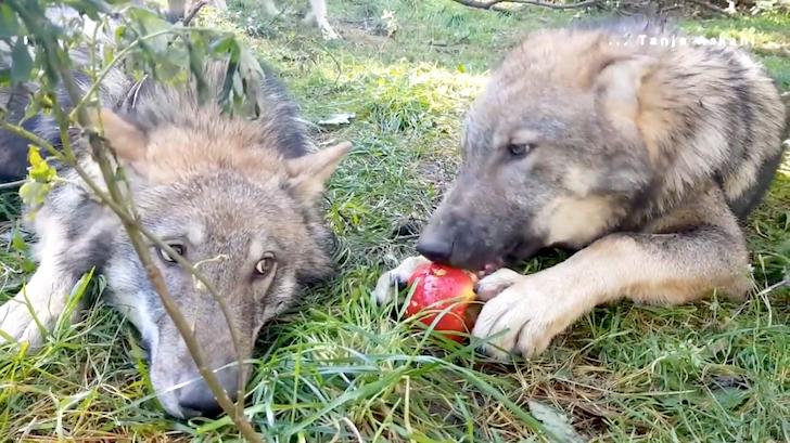 リンゴを奪おうとするオオカミと守ろうとするオオカミ