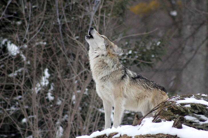 雪山で遠ぼえするオオカミ