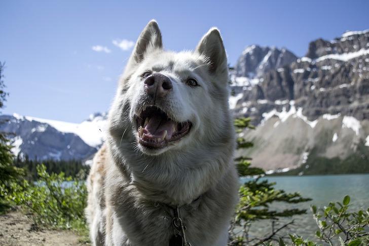 口を開けて飼い主を見詰める白い犬