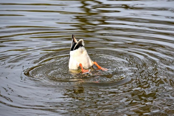 水中に潜るアヒル