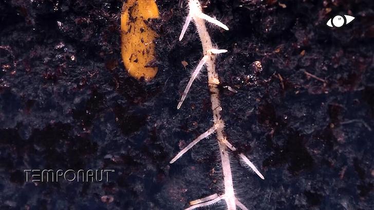 地中に伸びていくメロンの根っこ