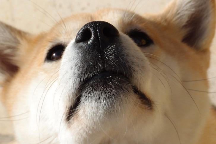 じっと見上げる柴犬