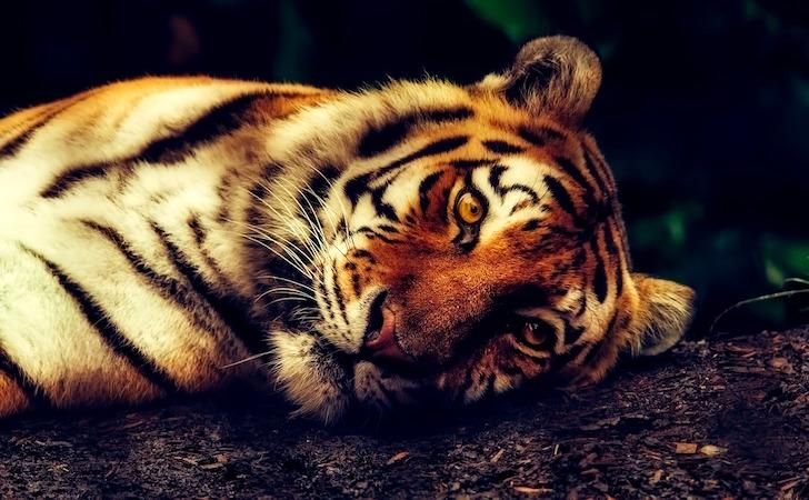 地面に寝そべる虎