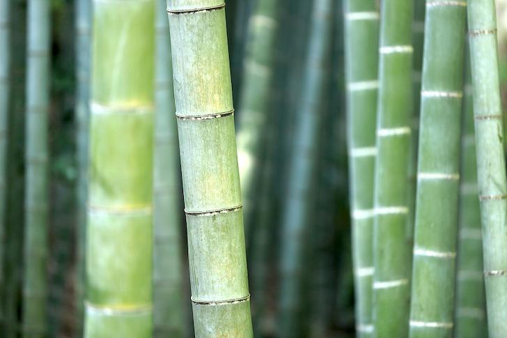 竹林にそそり立つ青竹