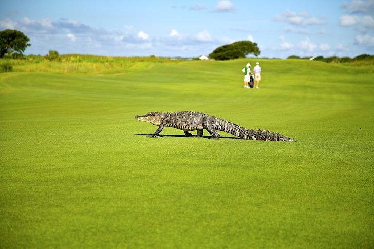 ゴルフ場を横切るワニ